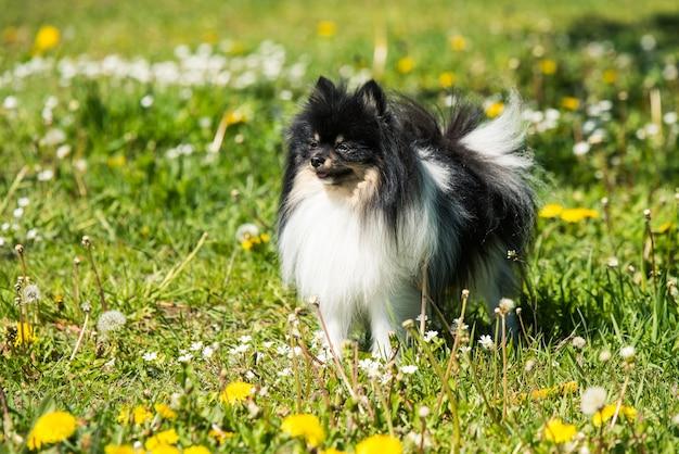 Cute pomeranian dog on the flowering field.