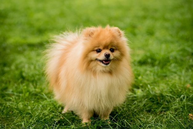 Cute pomeranian dog at the park