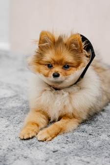 Cute pomeranian dog in a protective elizabethan collar after surgery lies on the floor.