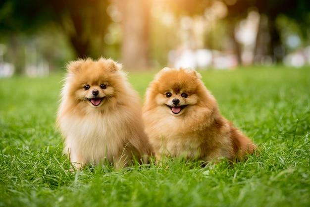 공원에서 귀여운 포메라니안 개