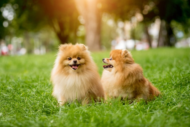 Cute pomeranian dogs at the park