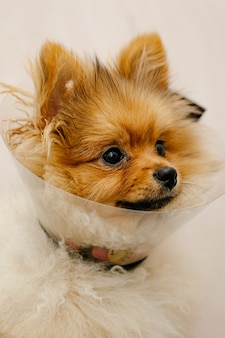Cute pomeranian in a medical collar looking at the camera. sick dog