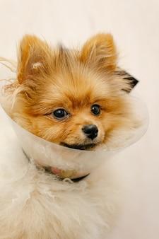 Cute pomeranian in a medical collar