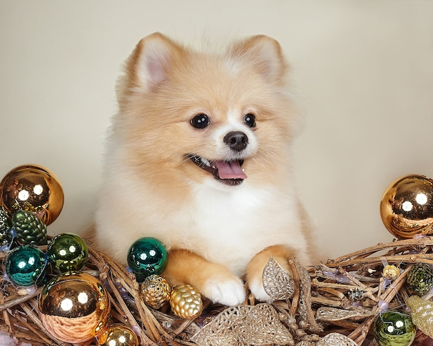 Cute pomeranian puppy in christmas attributes.