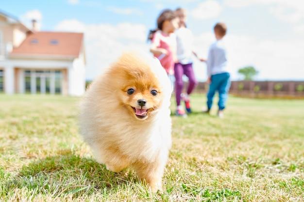 かわいいポメラニアン子犬