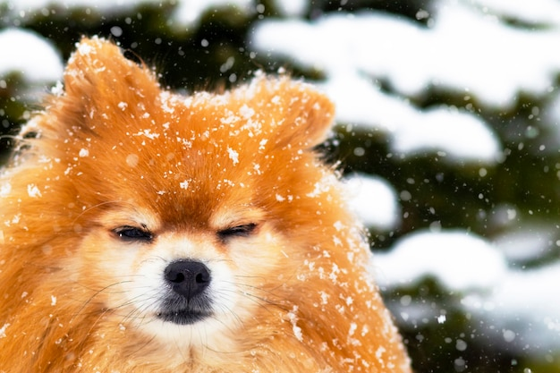 Cute pomeranian spitz dog in the snow. portrait of a pet against a background of snow and a christmas tree, winter.