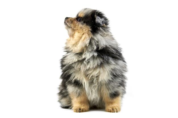 座っているかわいいポメラニアンスピッツ子犬