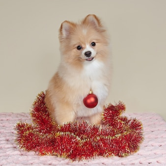 Cute pomeranian with christmas tree toy