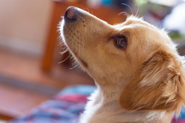 옆으로 보고 있는 골든 리트리버 강아지의 귀여운 초상화 국내 애완 동물의 경고 모습