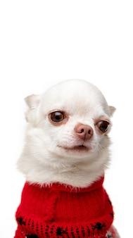 귀여운 포즈 작은 치와와 강아지 흰색 배경에 고립 된 빨간 죄수 복을 입고 포즈