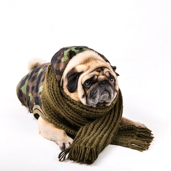 Cute pug in army clothes and scarf