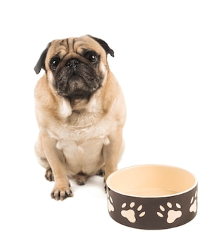 Cute pug close up with empty bowl for feed isolated on white background
