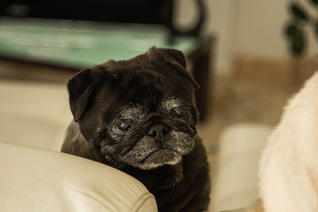 The cute pug dog breed has a question and makes a funny face feel so happy