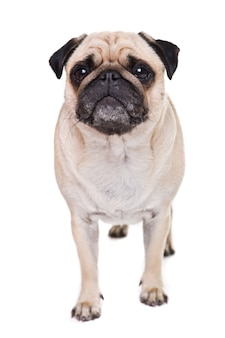 Cute pug dog isolated on a white wall