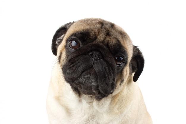 Cute pug dog looking innocent