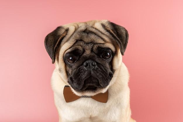 ピンクの背景に蝶ネクタイをしたかわいいパグ犬。