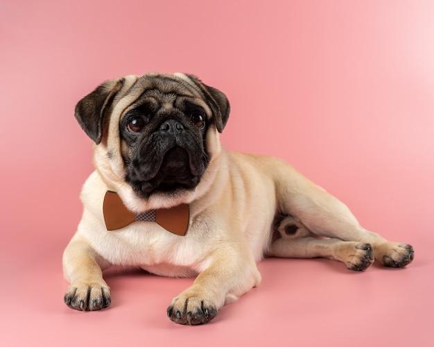 ピンクの蝶ネクタイとかわいいパグ犬。