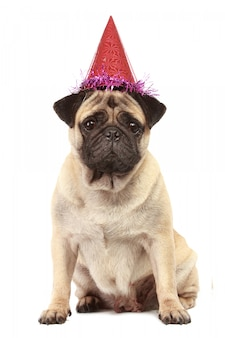 Cute pug dog with hat isolated
