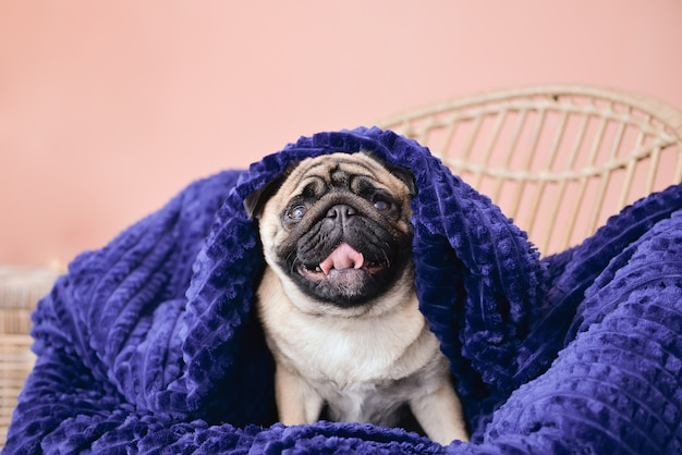 自宅で暖かい格子縞のかわいいパグ犬。暖房シーズンのコンセプト