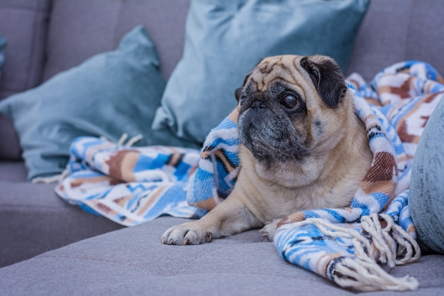 Cute pug is wrapped in warm blanket with blue ornament.