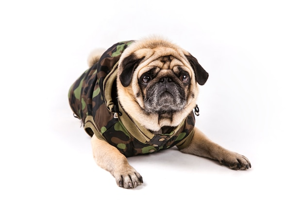 Cute pug laying in army clothes