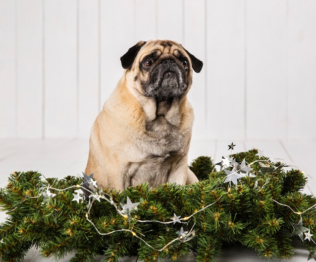 Cute pug near pine branches decoration