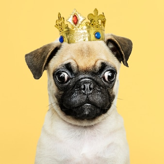 Cute pug puppy in a gold crown