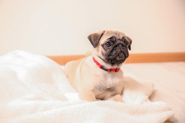 Милый щенок мопса на пледе в светлой комнате