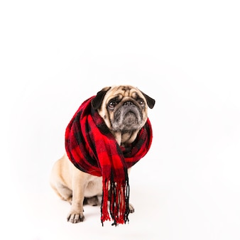 Cute pug sitting with scarf