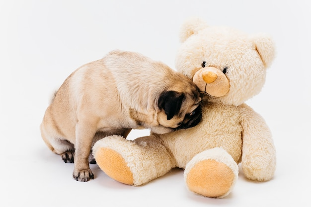 Cute pug sniffing big fawn teddy bear