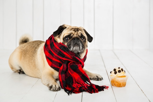 Cute pug wearing checkered scarf near cupcake