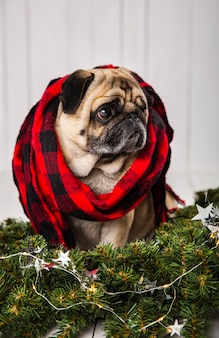 Cute pug wearing scarf near pine branches decoration