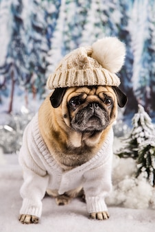 Cute pug wearing sweater and hat