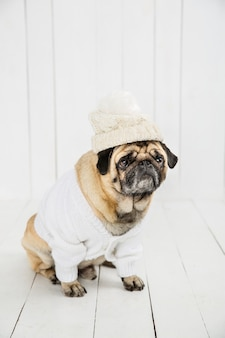 Cute pug wearing white sweater  and hat