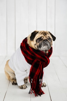 Cute pug wearing white sweater  and scarf