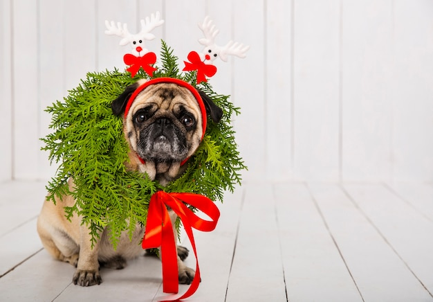 Cute pug wearing wreath decoration around the neck and headband