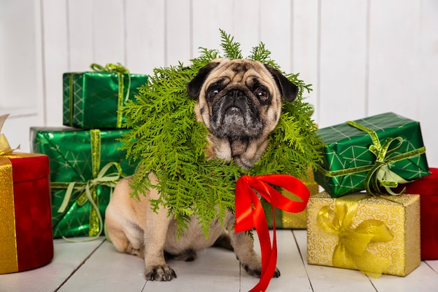 Cute pug wearing wreath decoration around the neck near gifts