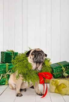 Cute pug wearing wreath decoration around the neck near presents