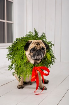 Cute pug wearing wreath decoration around the neck