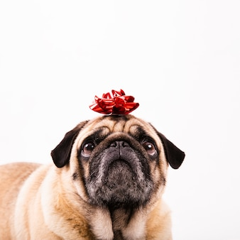 Cute pug with bow on head