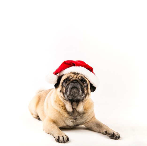 Cute pug with santa hat laying