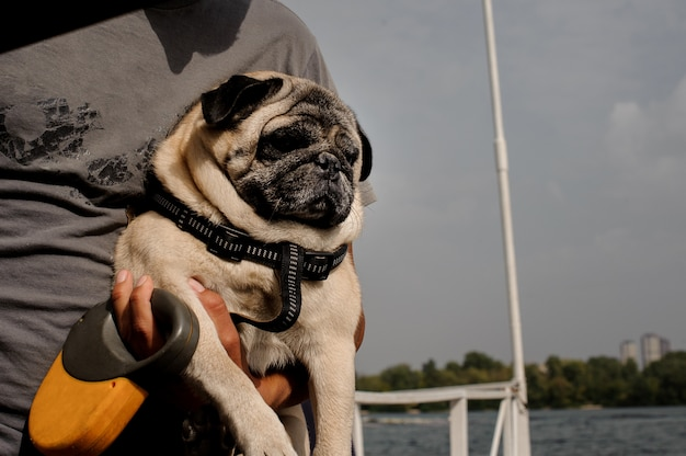 Cute pug with sitting at hands of his owner
