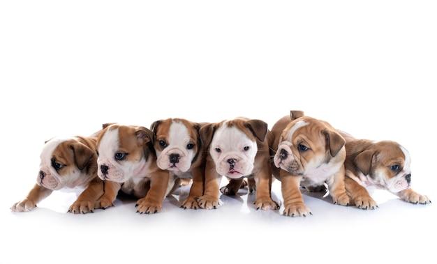 Милые щенки на белом фоне