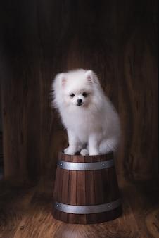 Cute puppies pomeranian dog sitting on a wooden bucket