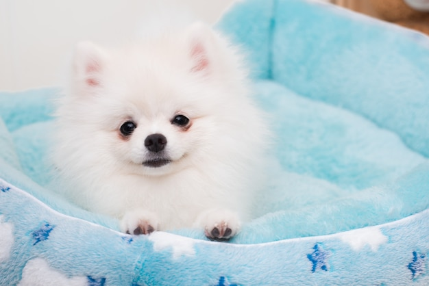 Cute puppies pomeranian dog on the soft fabric mattress.