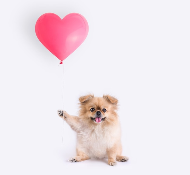 Cute puppies pomeranian mixed breed pekingese dog sitting holding a heart shaped balloon isolated on white background for valentines day.