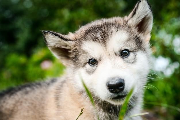 Милый щенок аляскинского маламута бежит по траве сада