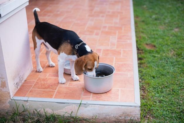 Cute puppy beagle drinking water