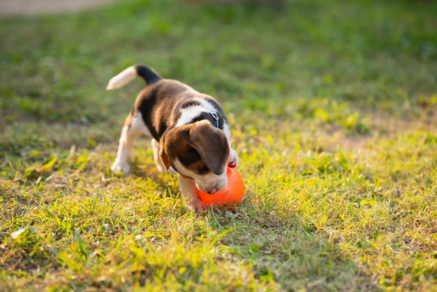 Cute puppy beagle playing ball in the garden