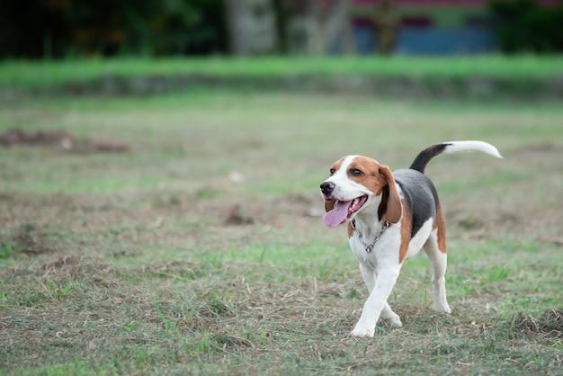 Милый щенок бигля бегает и играет с розовым шариком на лужайке